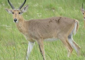 Reedbuck Facts