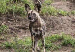 wild dog facts
